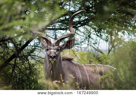 Greater kudu (tragelaphus) looking at me through the tree branches