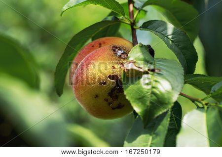 rotten peach hanging on the branch with green leaves in a garden