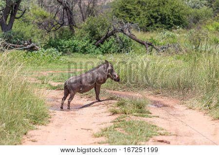 Common warthog standing in the middle of a dirt road
