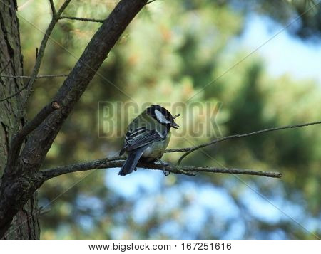Adult great tit perched on a tree branch