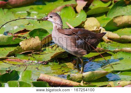 young wild moorhen duck walking on water lilies with a sprig of willow in its beak