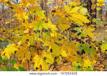 Tar black spot is one of the most readily visible and easiest maple diseases to diagnose. Maple tree leaf diseases.