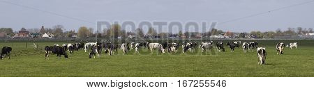 Panorama photo of black and white dutch holstein cows in pasture