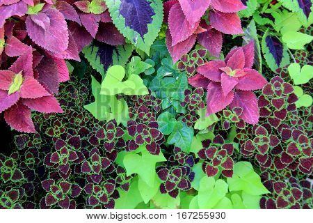 Gorgeous horizontal image with several different coleus plants, most with beautiful patterns and textures on each leaf.