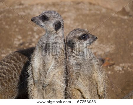 Two Meerkats standing upright back to back