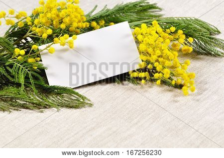 Spring 8 March background - white card with free space for text in the mimosa spring flowers. 8 March background for 8 March messages
