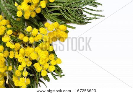 Mimosa flowers closeup. Mimosa flowers isolated on white background - spring background with yellow flowers of mimosa