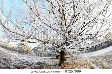 beech tree in winter frost via wide angle