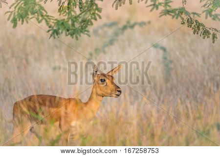 Beautiful Black buck doe in grassland looking at the camera