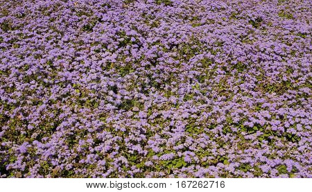 Flower bed with many little blue flowers ageratum.