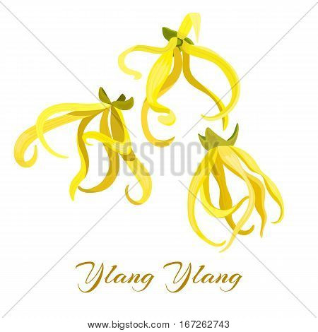 Ylang Ylang tropical flower Cananga odorata . Vector illustration. Design for natural cosmetics, perfume, health care products, aromatherapy. For print, label, poster, spa, logo tag banner labels