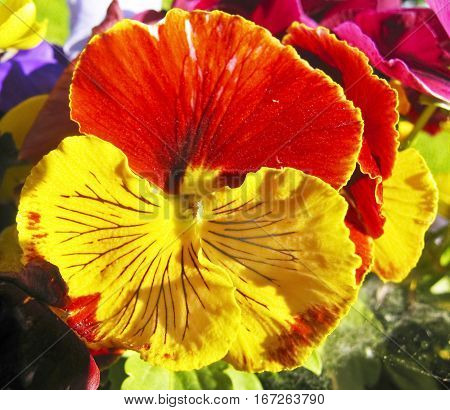One flower of pansy (viola tricolor) of yellow and orange colours close horizontal view.