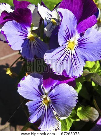Three violet pansies (viola tricolor) vertical view.