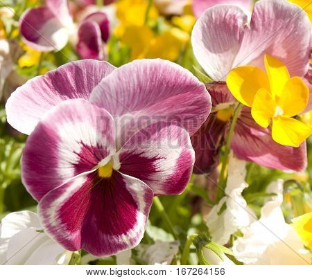 Pink pansi (viola tricolor) with other flowers on flower bed.