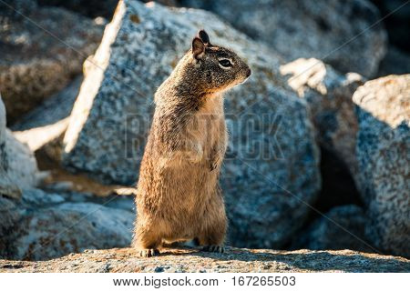 sweet curious california ground squirrel standing upright animal in california