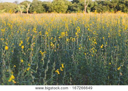 Sunhemp Flower Filed ,pummelo (crotalaria Juncea)