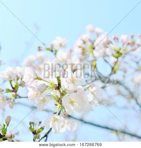 White cherry blossoms closeup. Sakura flowers and buds Japan.