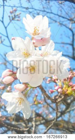 Cherry blossoms young buds and blue sky Japan