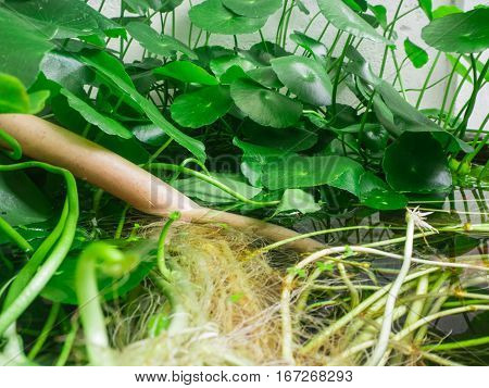 root and green leaf lotus in water