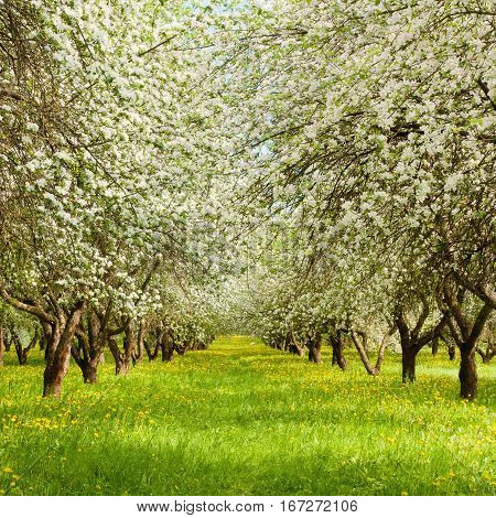 Beautiful Nature Spring Landscape with blossoming Apple garden. Springtime. Web banner Square Wallpaper With Copy Space