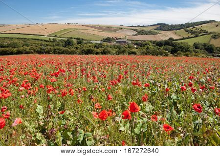 Poppy field in South Downs way East Sussex England selective focus