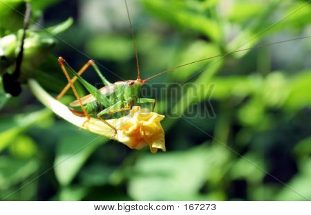 Insect, Grasshopper