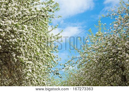 Beautiful Natural Spring floral Background of white blooming Apple tree on the background of bright blue sky. Old Tree crown in garden. Horizontal Wallpaper With Copy Space
