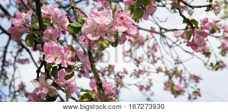 Branch of blooming Apple tree closeup with selective focus. Springtime. Pink Apple blossoms growing in the garden. Wide Horizontal Wallpaper