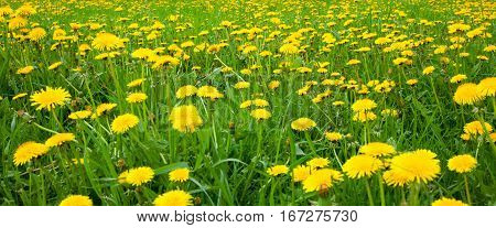 Nature Spring Background with blossoming dandelion flowers. Flower meadow Springtime with selective focus. Colorful Natural Wide Horizontal Wallpaper With Copy Space