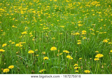 Nature Spring Background with blossoming dandelion flowers. Flower meadow Springtime with selective focus. Colorful Natural Horizontal Wallpaper With Copy Space