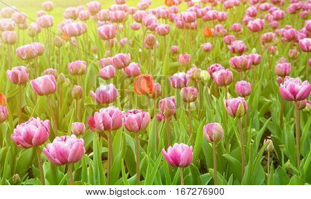 Colorful Nature Spring Background of Blossom Tulips Flowers. Many Amazing Double Pink Tulips Growing in Decorative Flower bed in the Park Garden of Sunny Day. Floral Landscape Horizontal Image