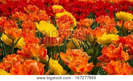 Beautiful Tulips Flowers Background. Decorative Floral Landscape of Natural Double Petal Red Orange and Yellow Tulips in the Flowerbed in the Garden Park of Spring Day Wide Screen. Selective focus.
