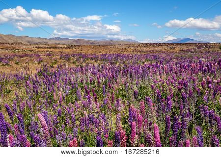 Beautiful Landscape View Of Colorful Lupin Flowers, Tekapo, New Zealand