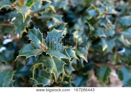 Close-up image of holly or holly ilex green leaves