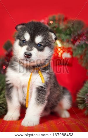 Malamute puppy with a yellow ribbon is sitting on a red background