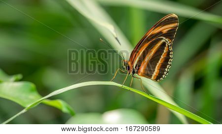 A Banded Orange Butterfly dryadula phaetusa, at rest