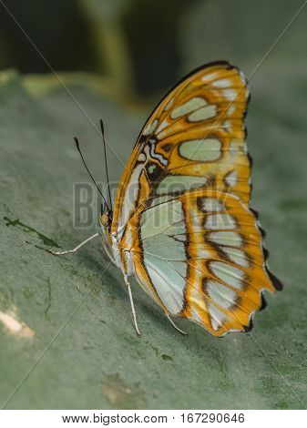 A Common Sergeant Butterfly (Athyma perius) at rest