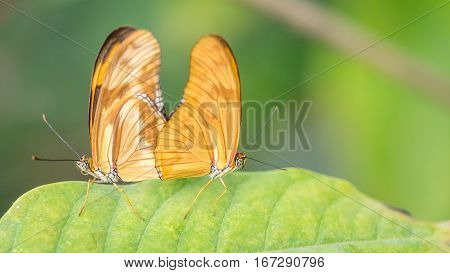 A pair of Flambeau butterflies,  Dryas Iulia