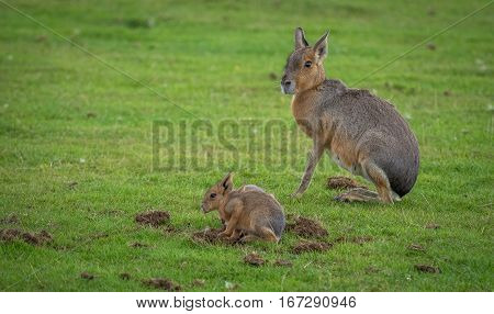 A baby and its mother. Mara, (Dolichotis).