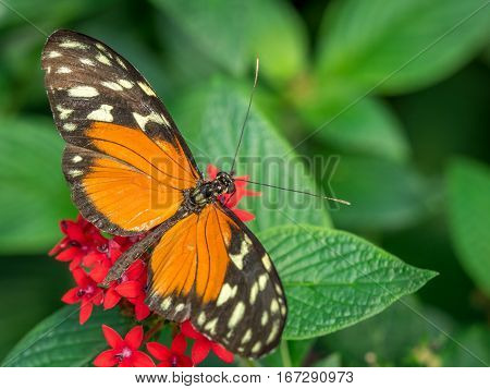 An orange Tiger Longwing butterfly Heliconius Hecale