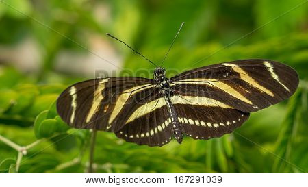 A Zebra Longwing butterfly Heliconius Charithonia at rest