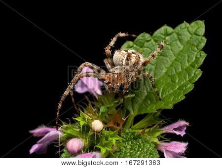 Spider Portrait In Blooming Nettle