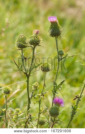 Closeup of bull thistle (Cirsium vulgare) plant blossom over green meadow background