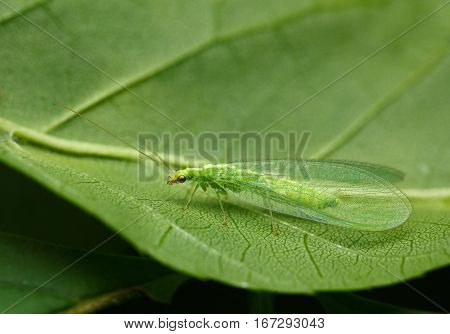 Camouflage Lacewing