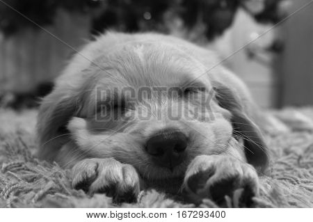 black and white close up of face of puppy sleeping