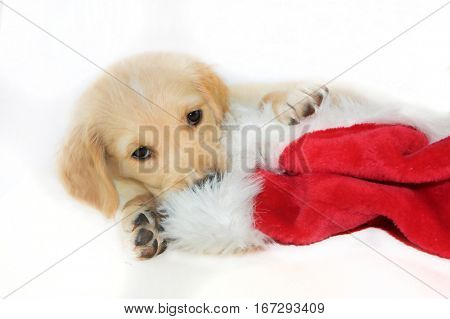 christmas santa hat and puppy dog on white background