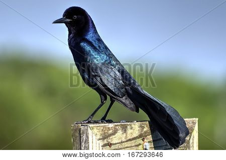 Iridescent male Boat-tailed grackle bird standing on wood fence