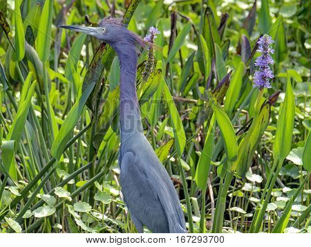 Little Blue Heron standing in profile among green foliage in Florida Wetlands stretched as tall as possible