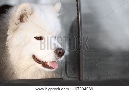 Cute samoyed dog looking out of car window