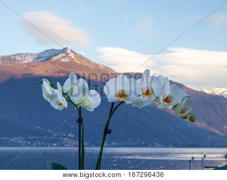Pianello del Lario Como - Italy: Orchids in pots and in the background the Lake Como and the mountains